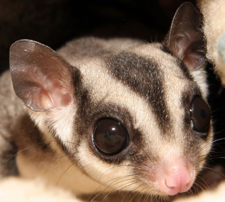 sugargliders2